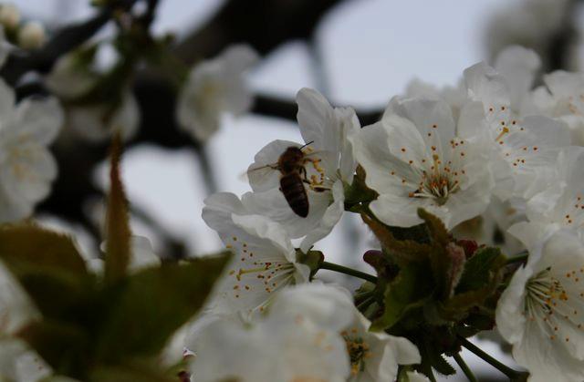 arce fruits - floraison des cerises