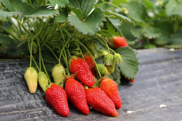 arce fruits Démarrage de la récolte des Fraises Gariguettes
