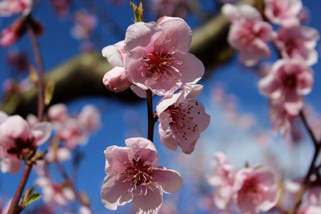 floraison-peches3