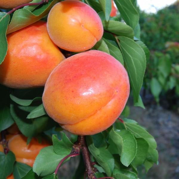 Orangered_0134.JPG