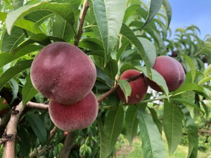 arce-fruits-melocoton-03