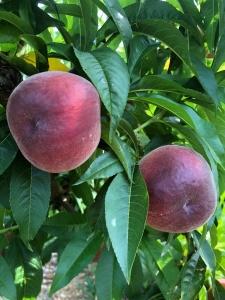 arce-fruits-melocoton-05