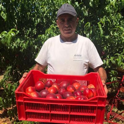 Carlos, Chef d'équipe, avec la récolte de Nectarine Jaune.